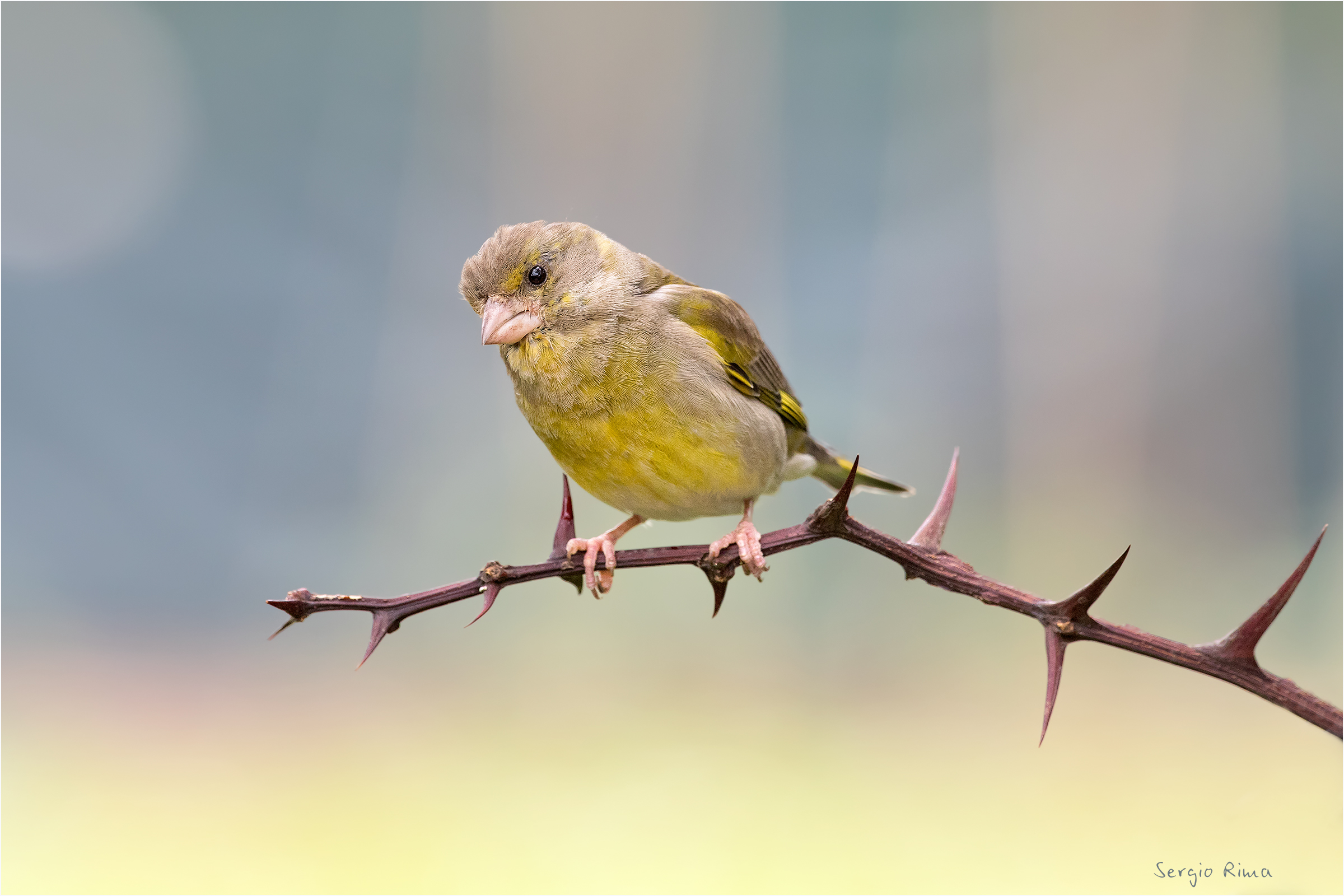 Portrait of a Greenfinch...