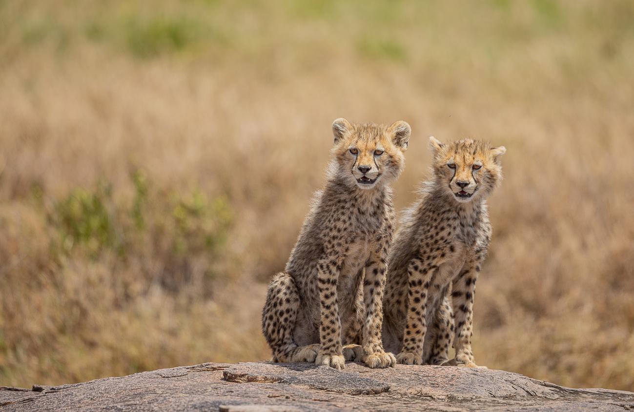 Cheetahs, 19...