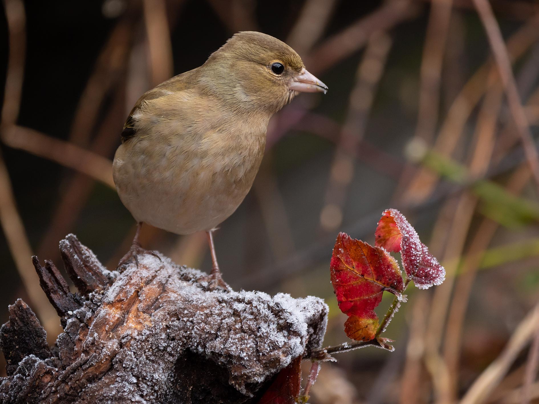 Finch (female)...