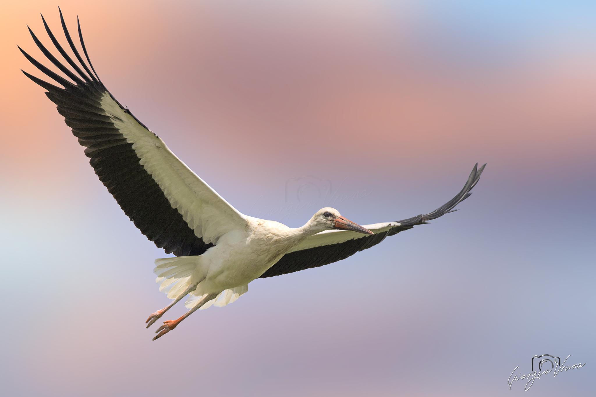 Sunset stork......