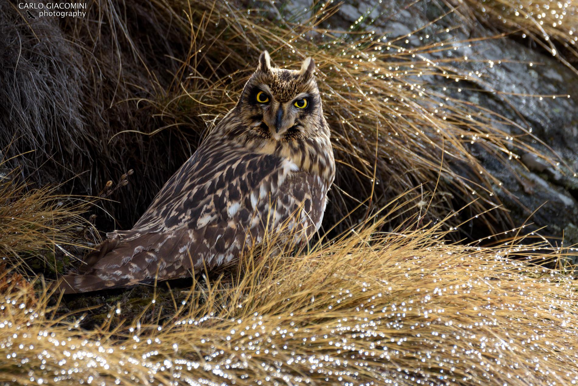 Swamp owl ...