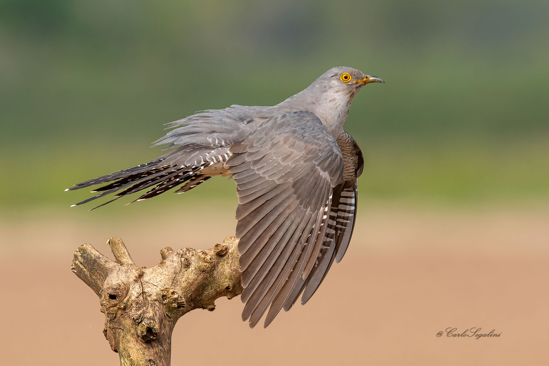 The Cuckoo just landed...
