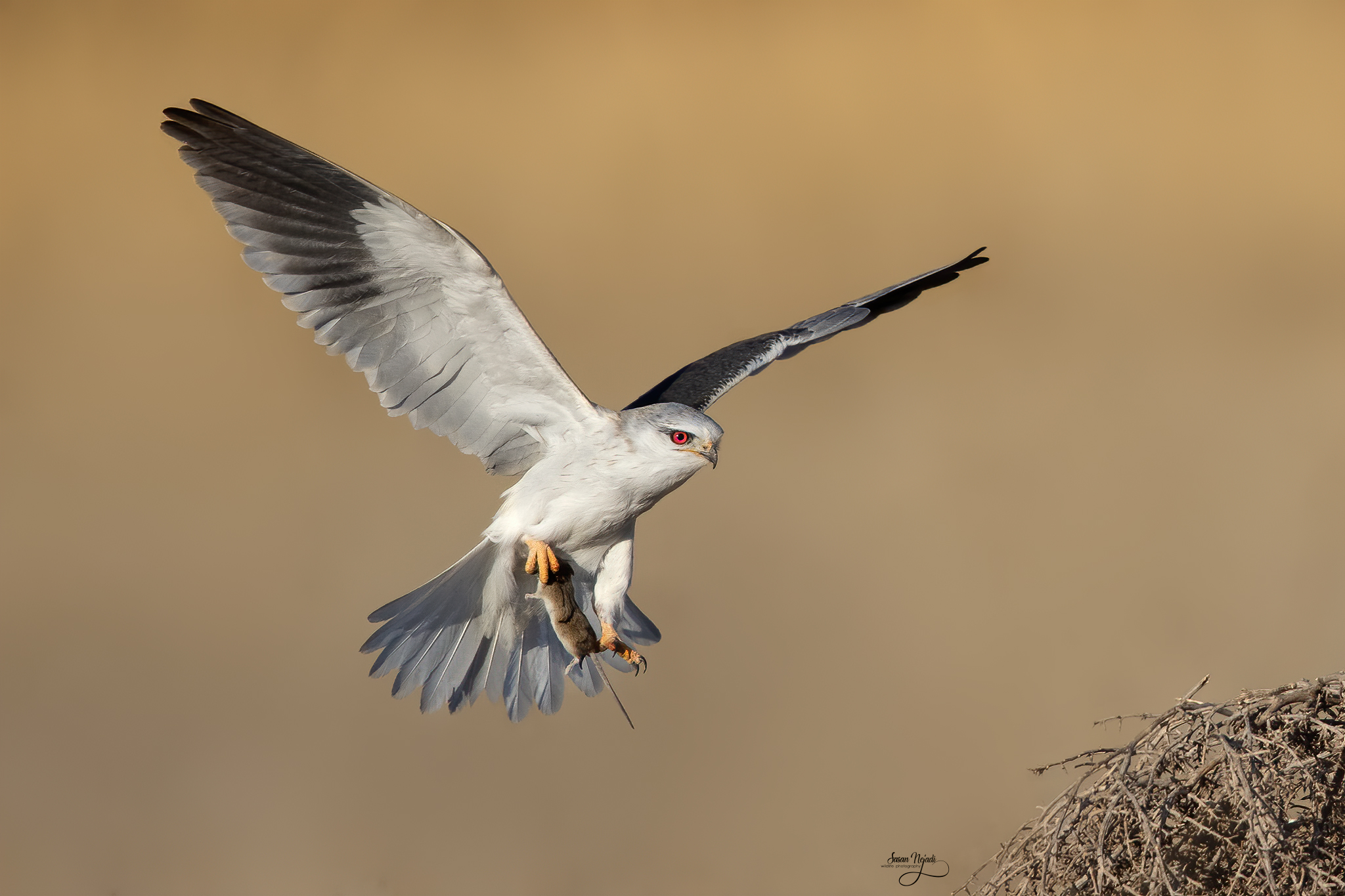 Black-winged kite...