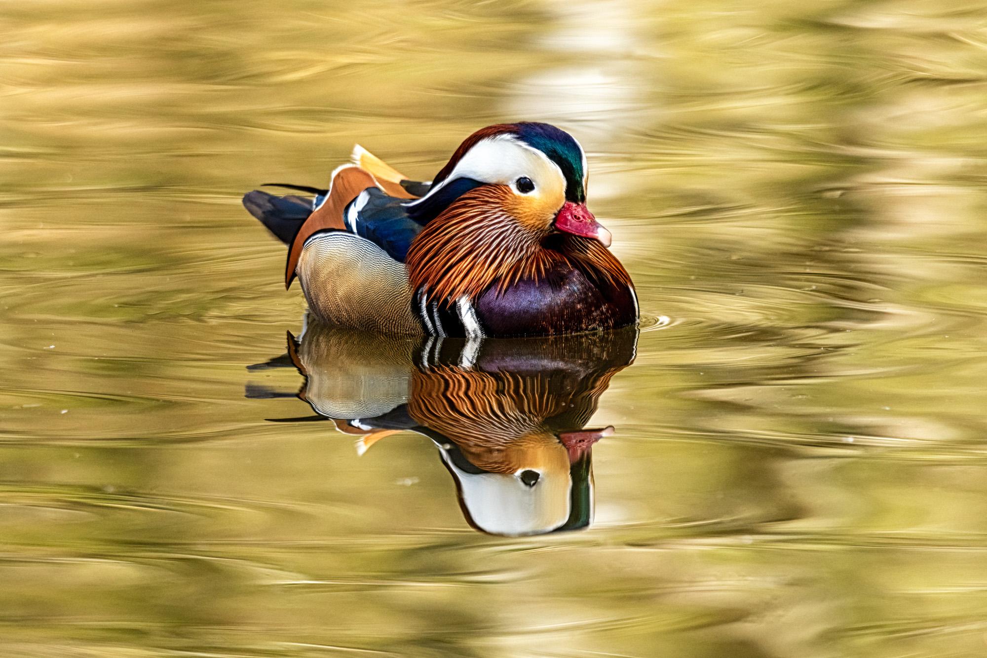 Mandarin Duck Reflected...