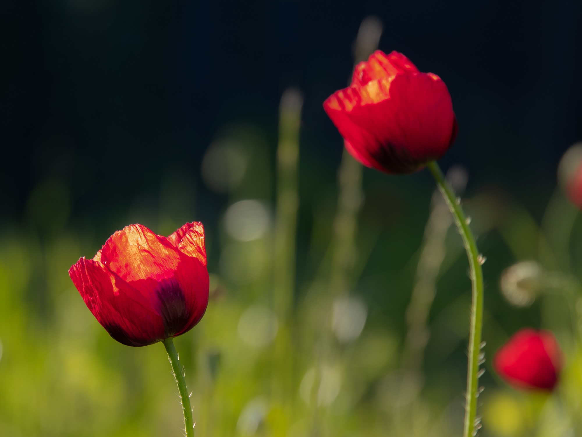 Poppies time...