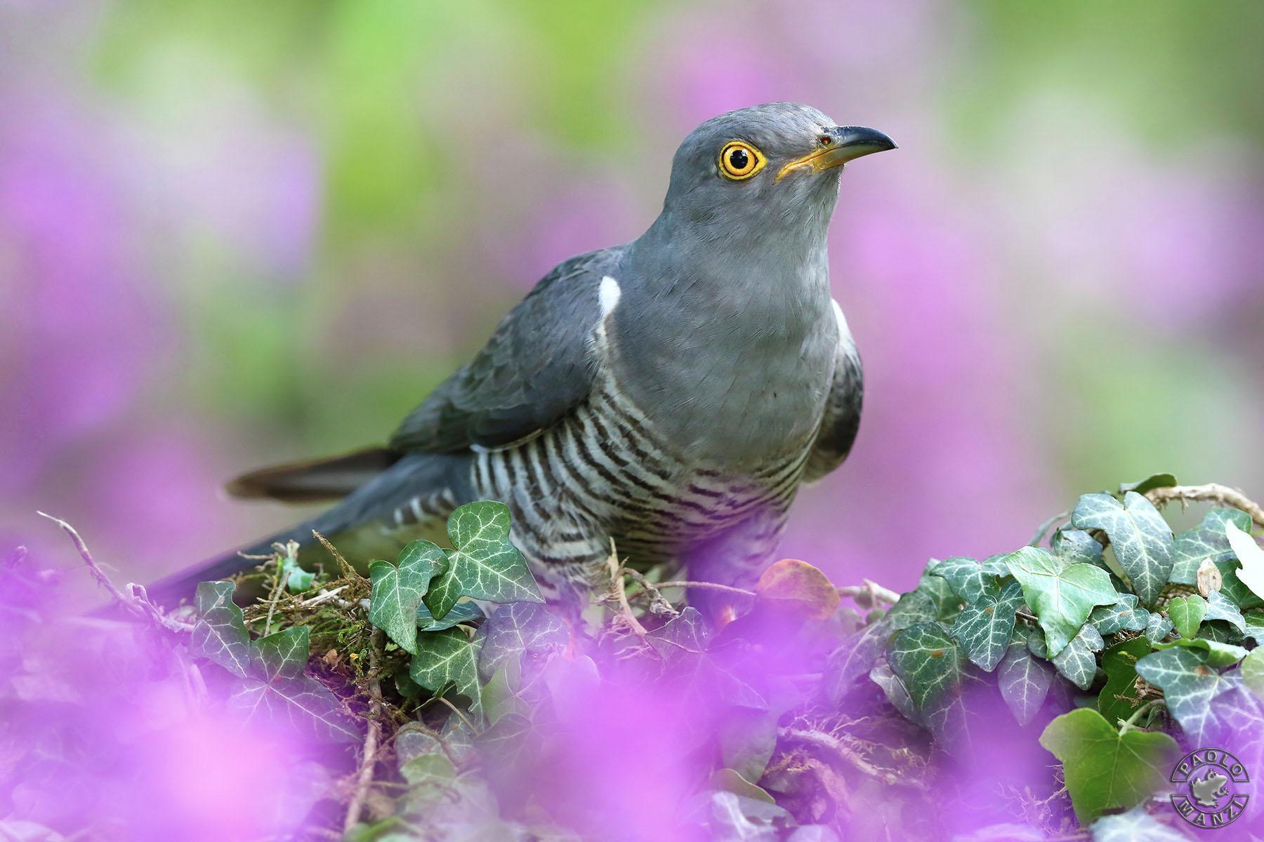 Cuckoo among flowers...