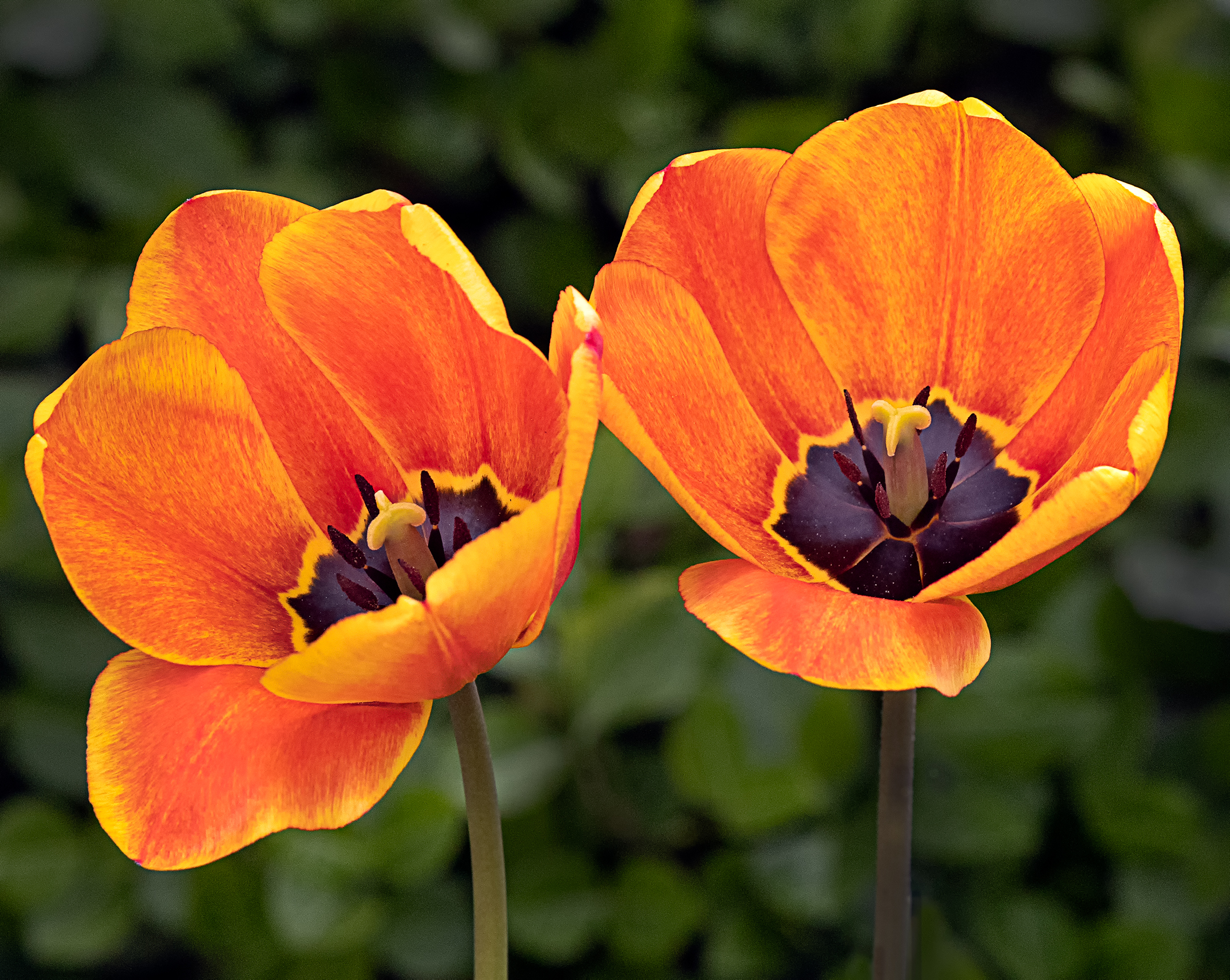 Tulipani arancioni....