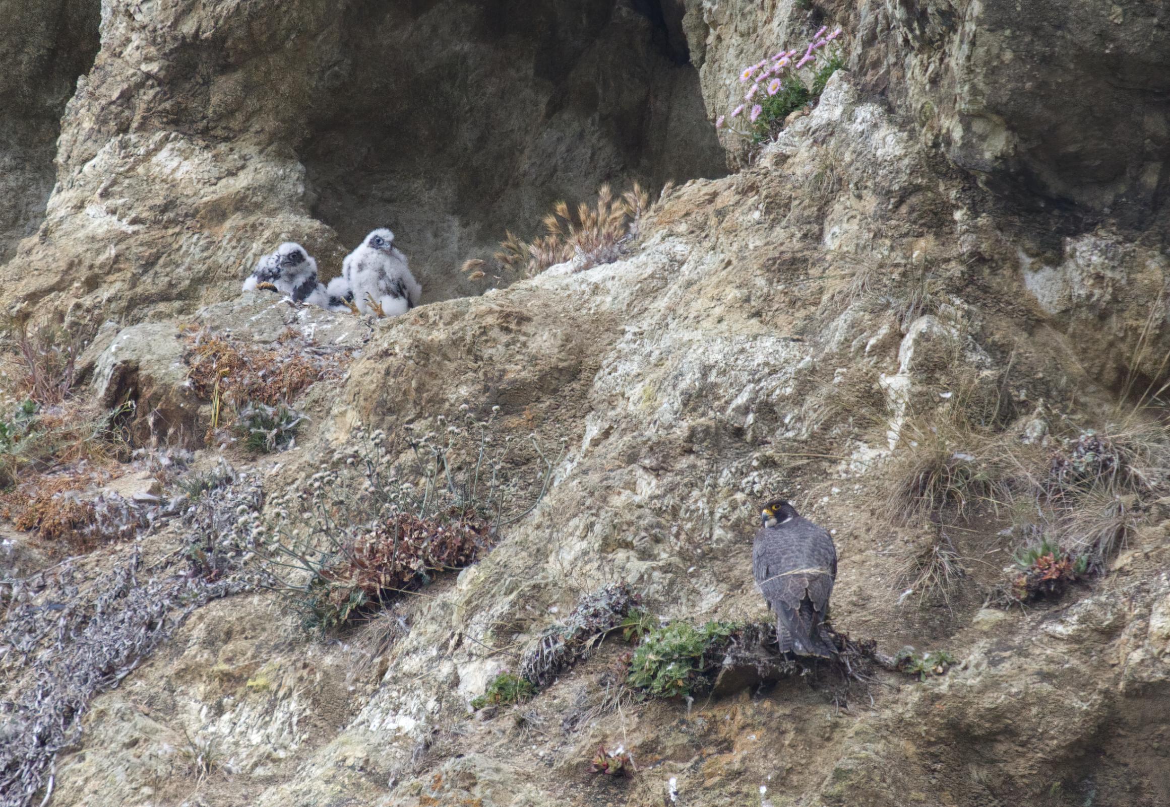 Peregrine falcon mom and chicks...