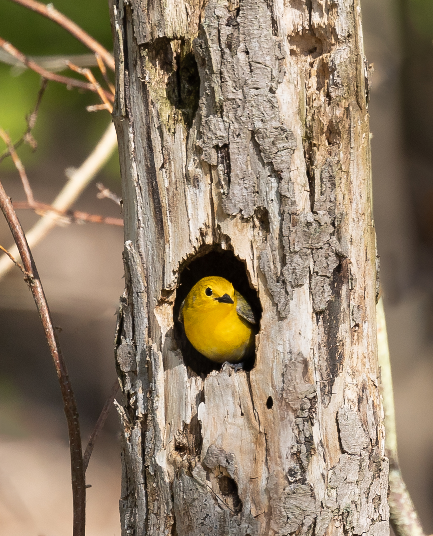 Prothonotary Warbler....