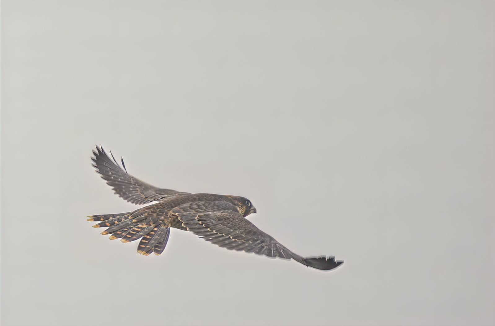 Young Peregrine falcon's one of first flights...