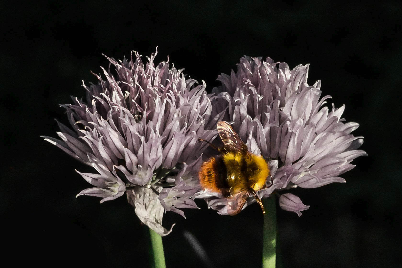 Bee on chives flowers...