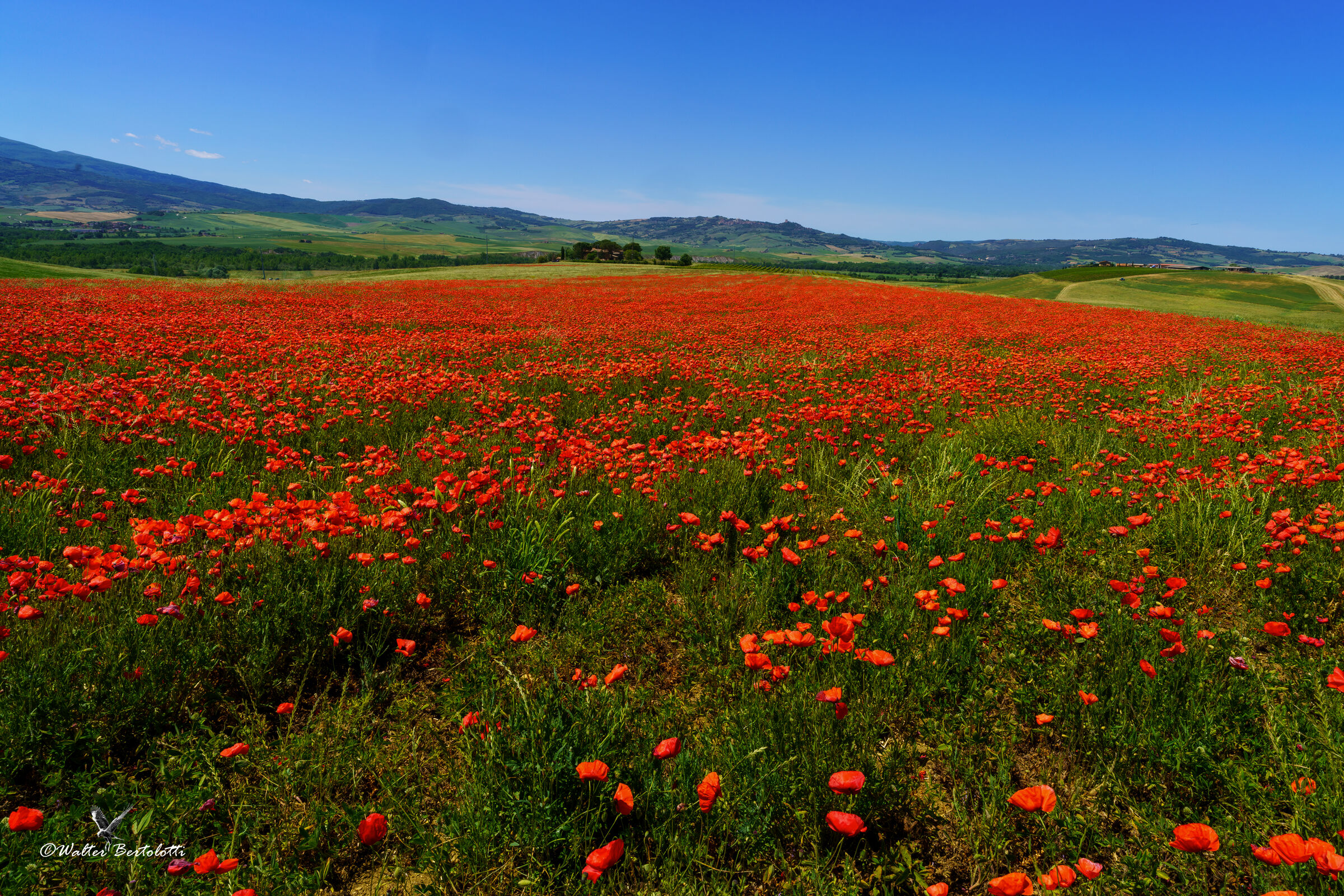 """""""A thousand red poppies""""..."""