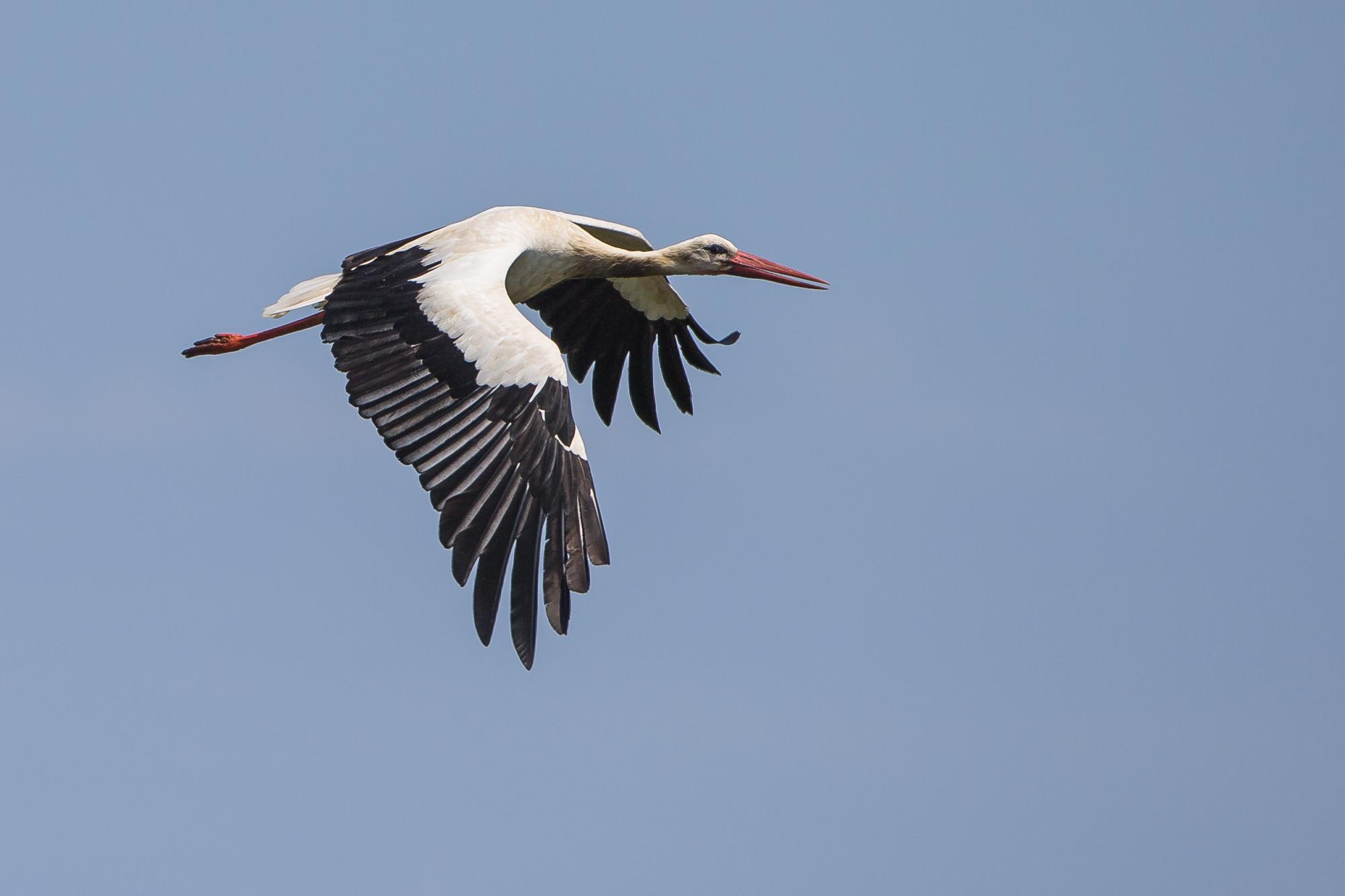 wild stork....