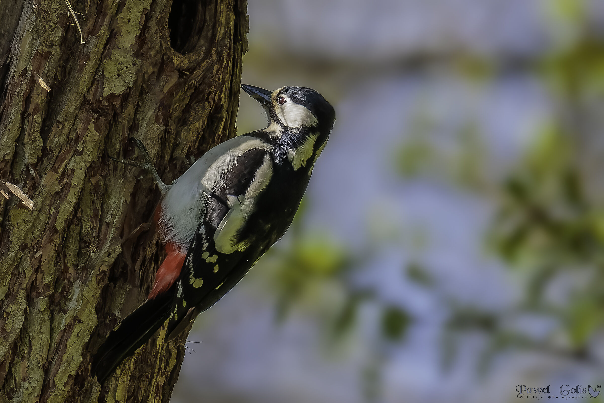 The great spotted woodpecker (Dendrocopos major)...