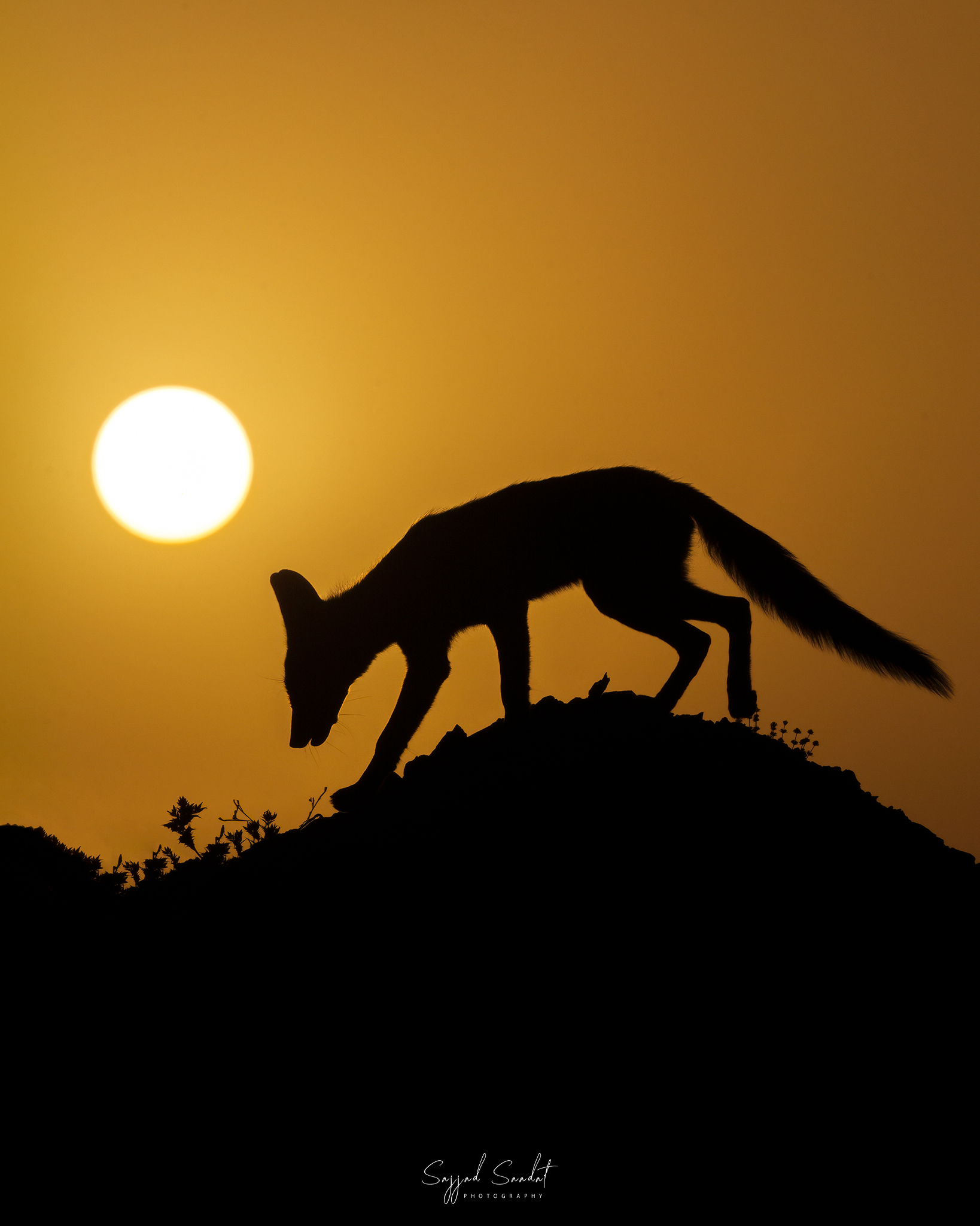 silhouette of fox...