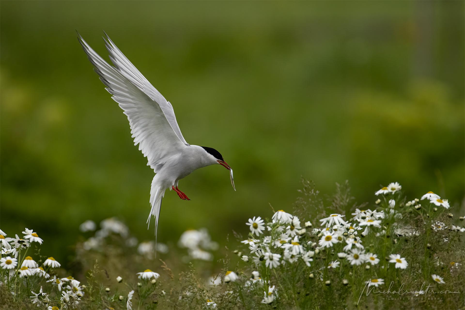 Sterna paradisaea (Arctic tern)...