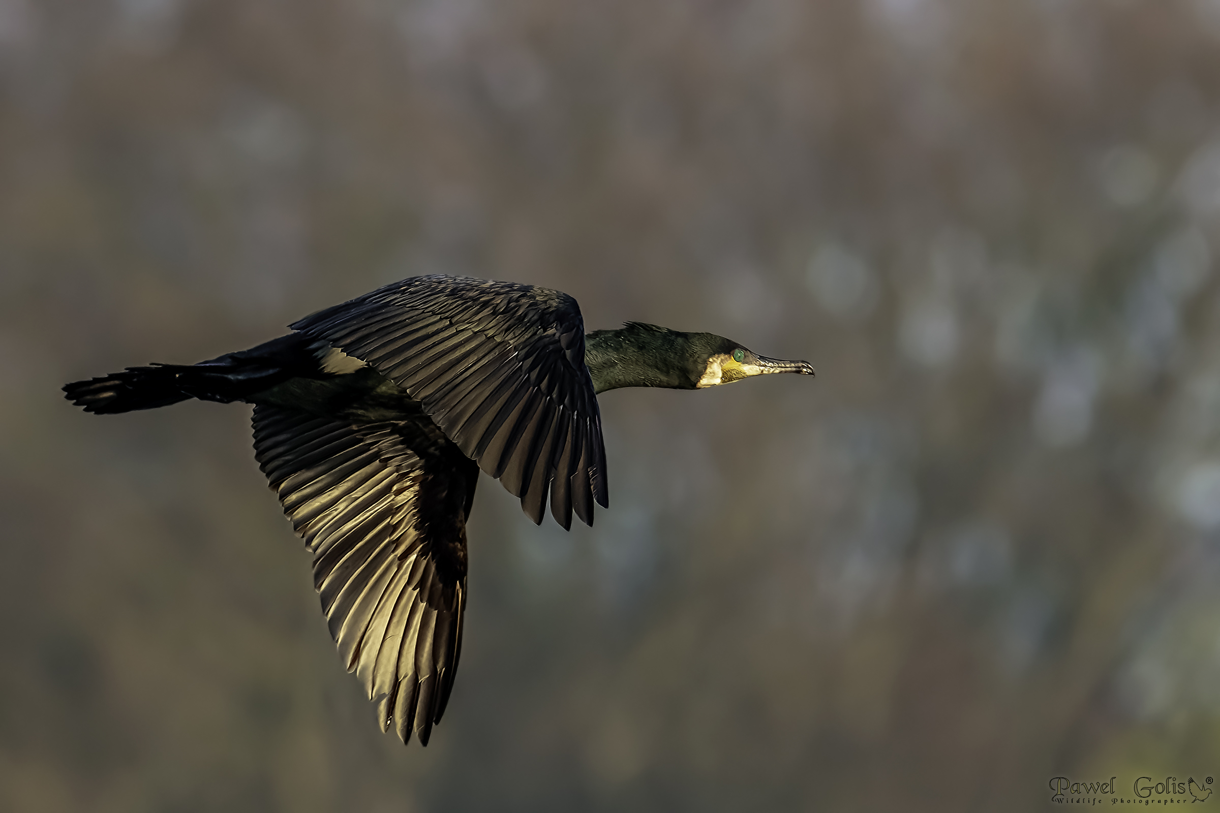 Great Cormorant (Phalacrocorax carbo)...