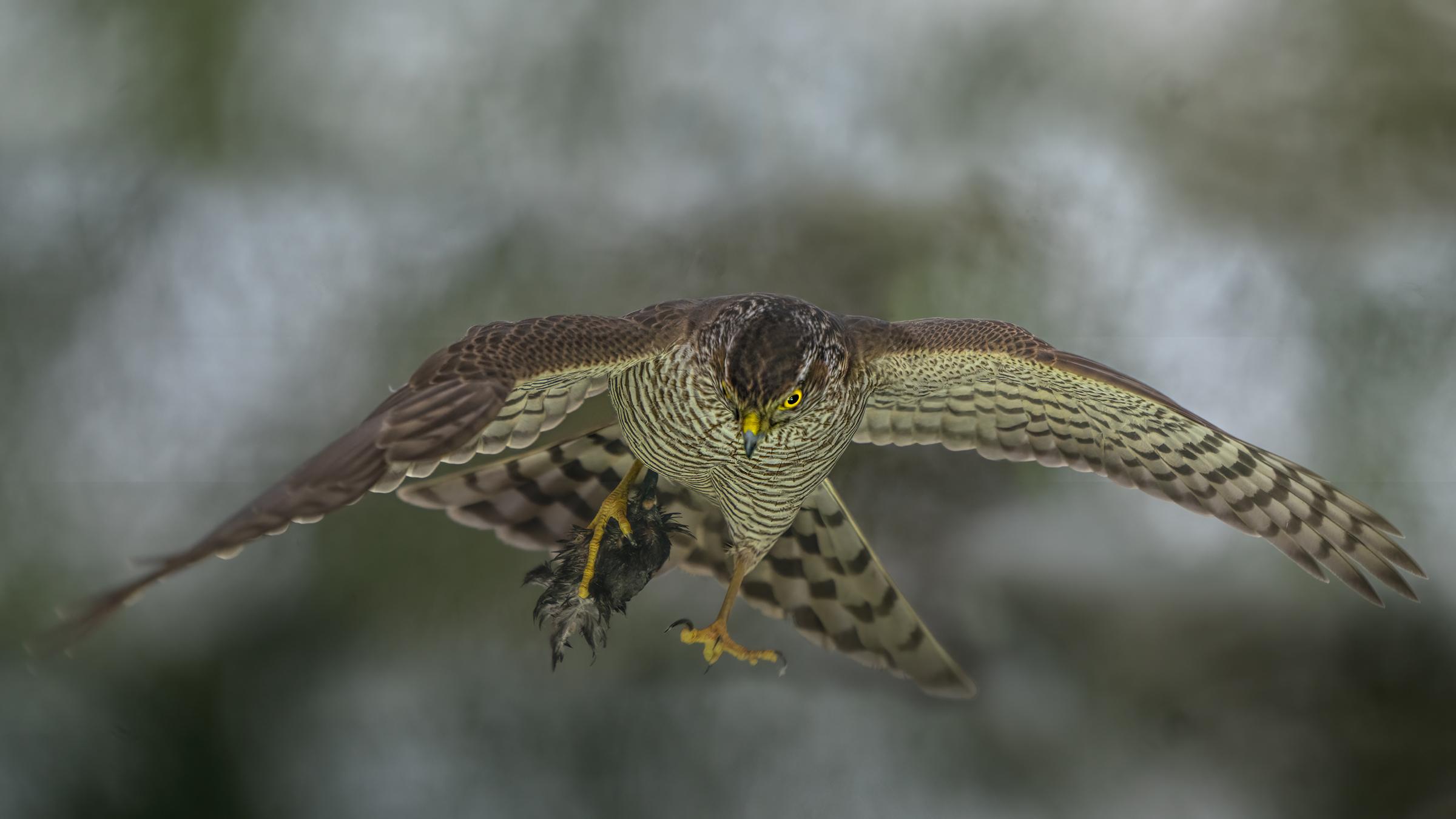 sparrowhawk ...