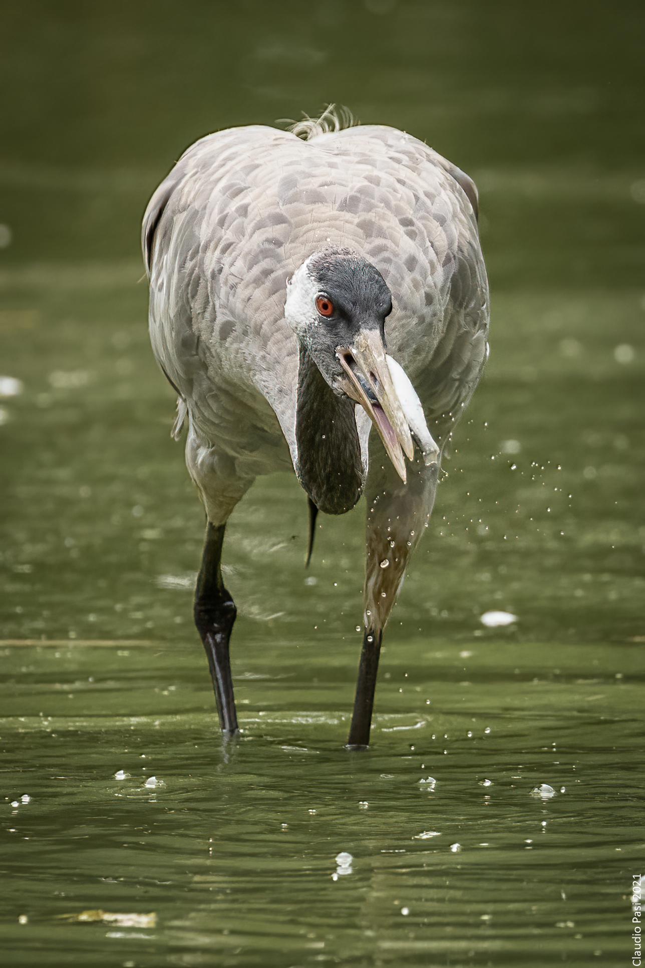 European Crane...