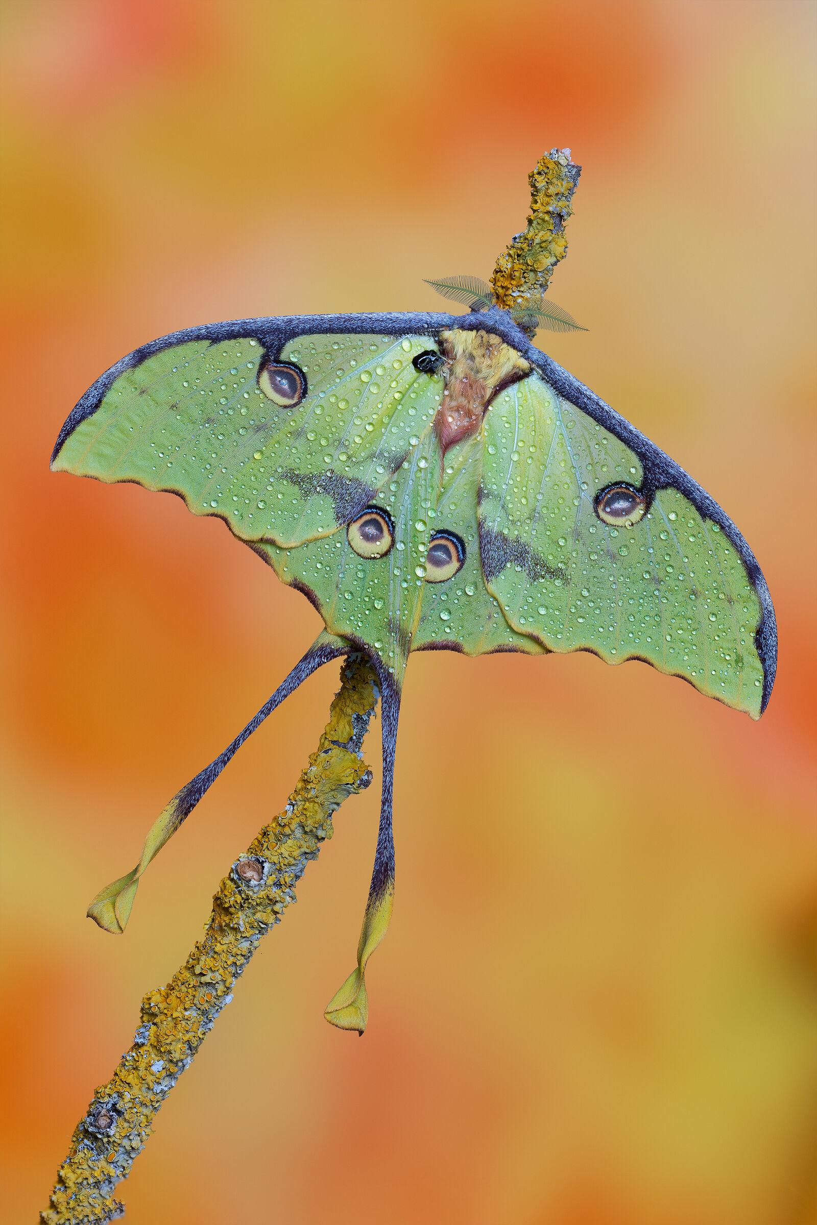 Argema mimosae - African moon moth...