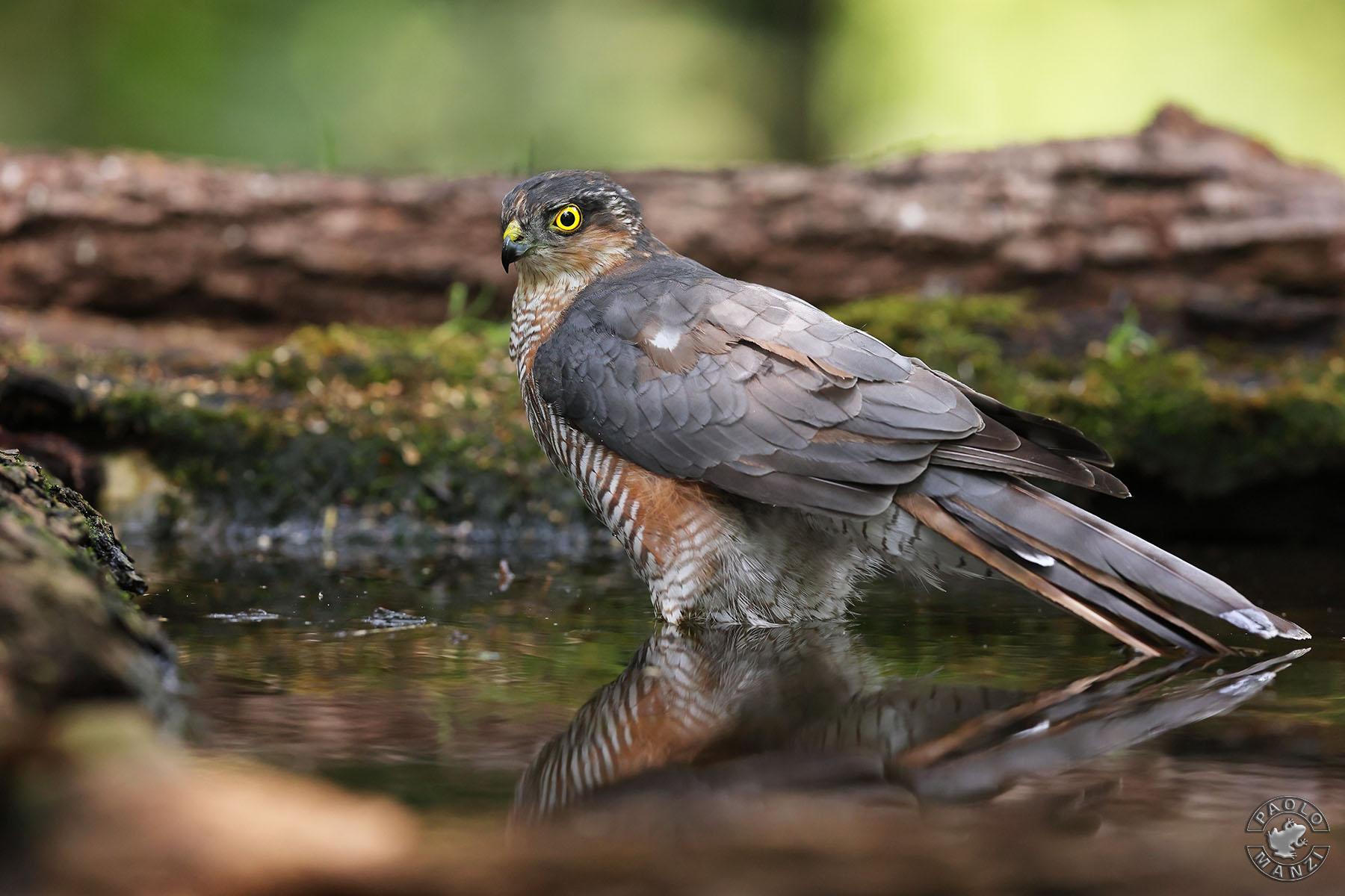 Sparrowhawk at the bathroom...