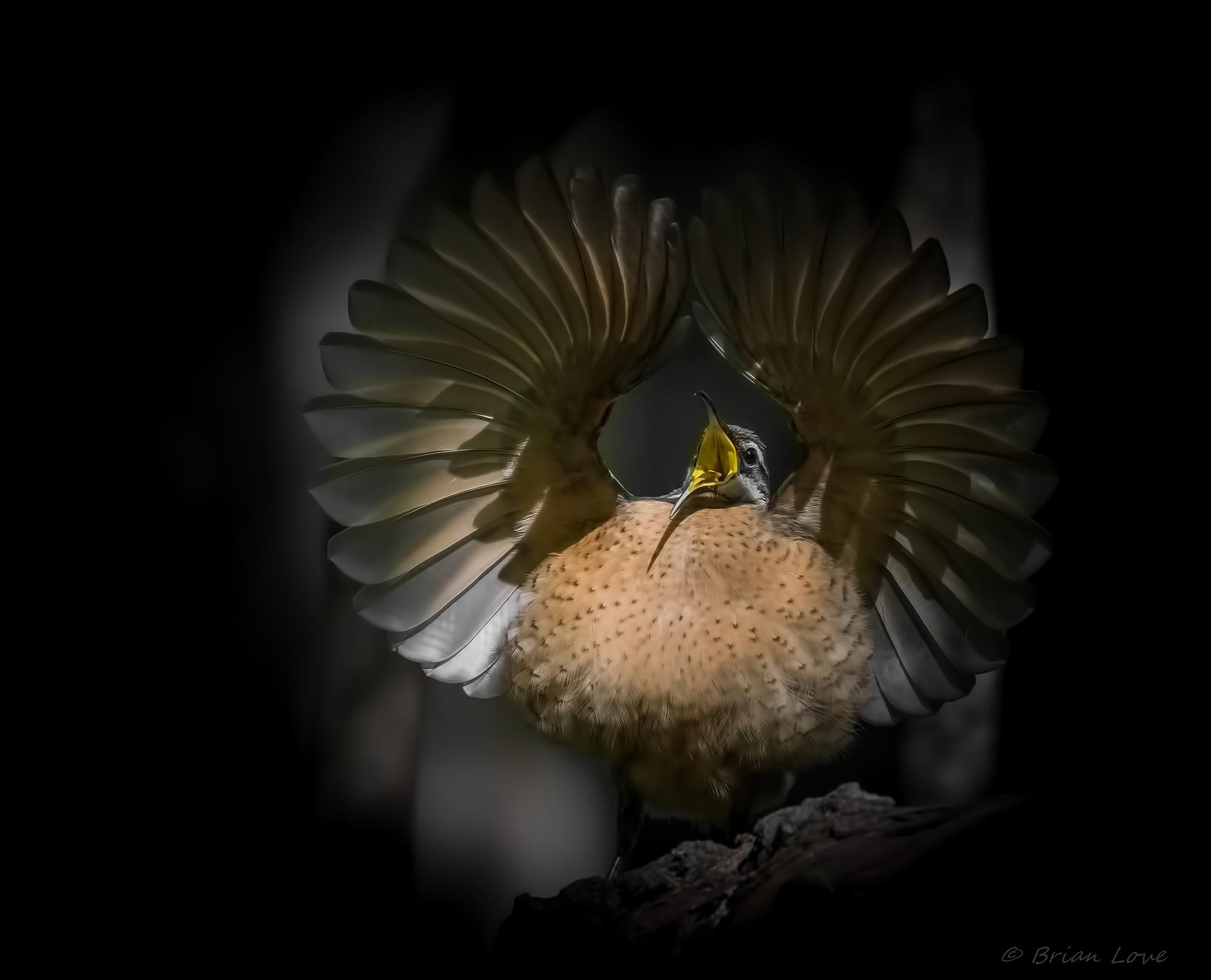 Juvenile Male Victoria's Riflebird display dancing...