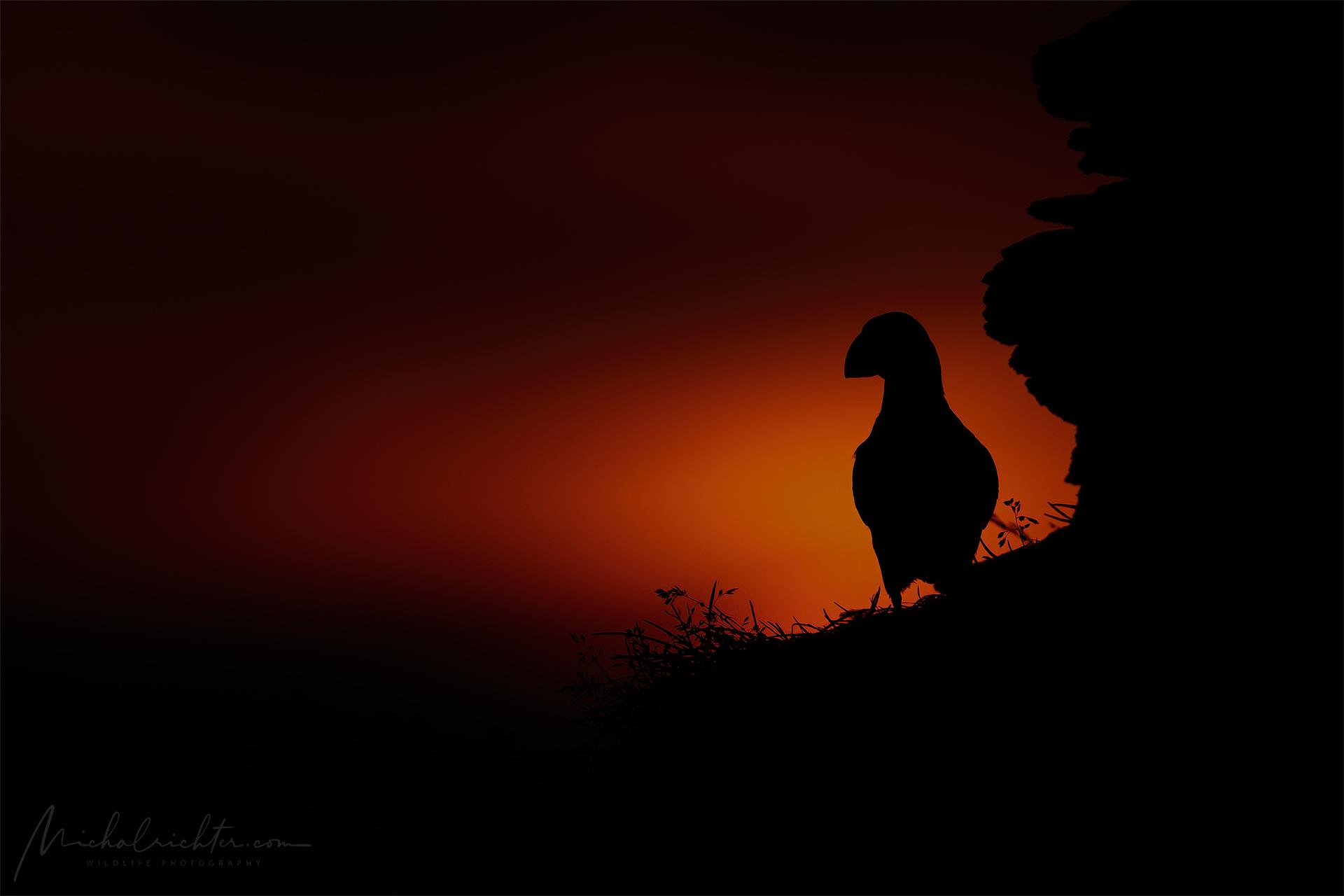 Fratercula arctica (Atlantic puffin)...