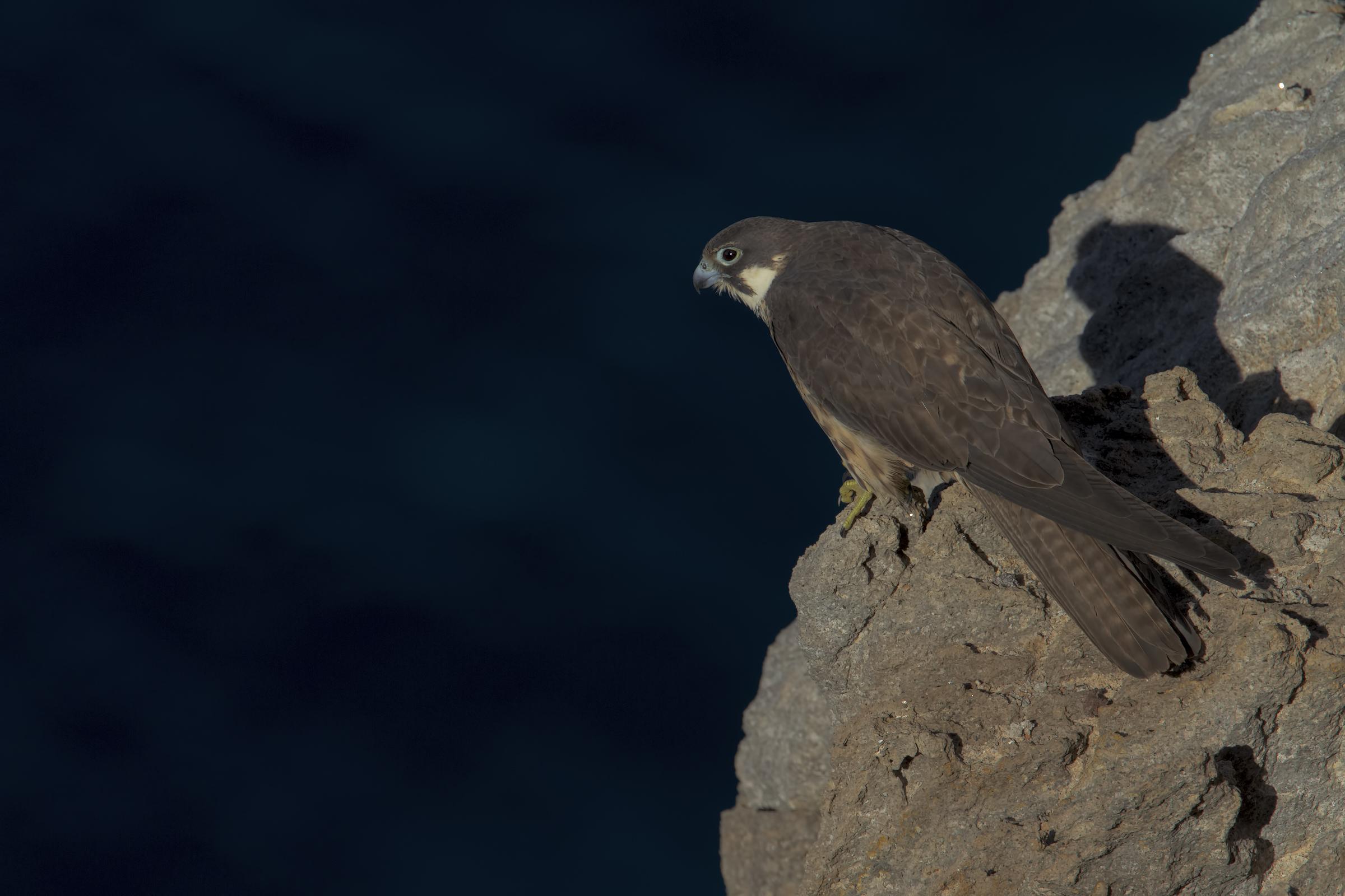 Queen's Falcon...