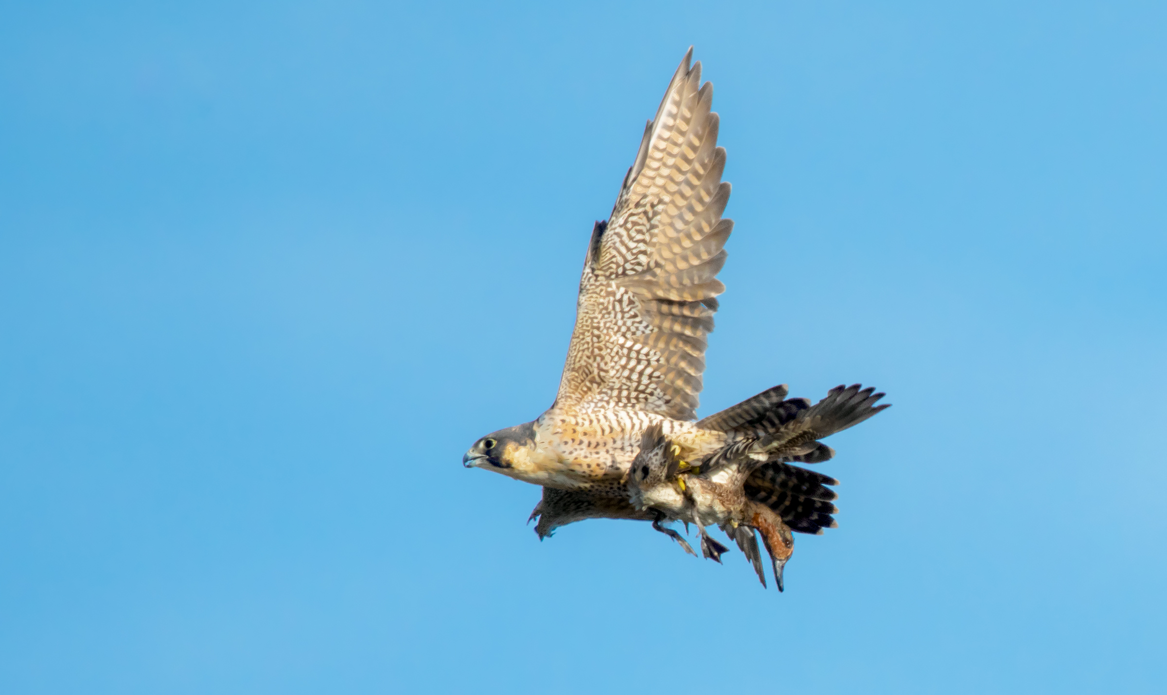 peregrine falcon and teal...