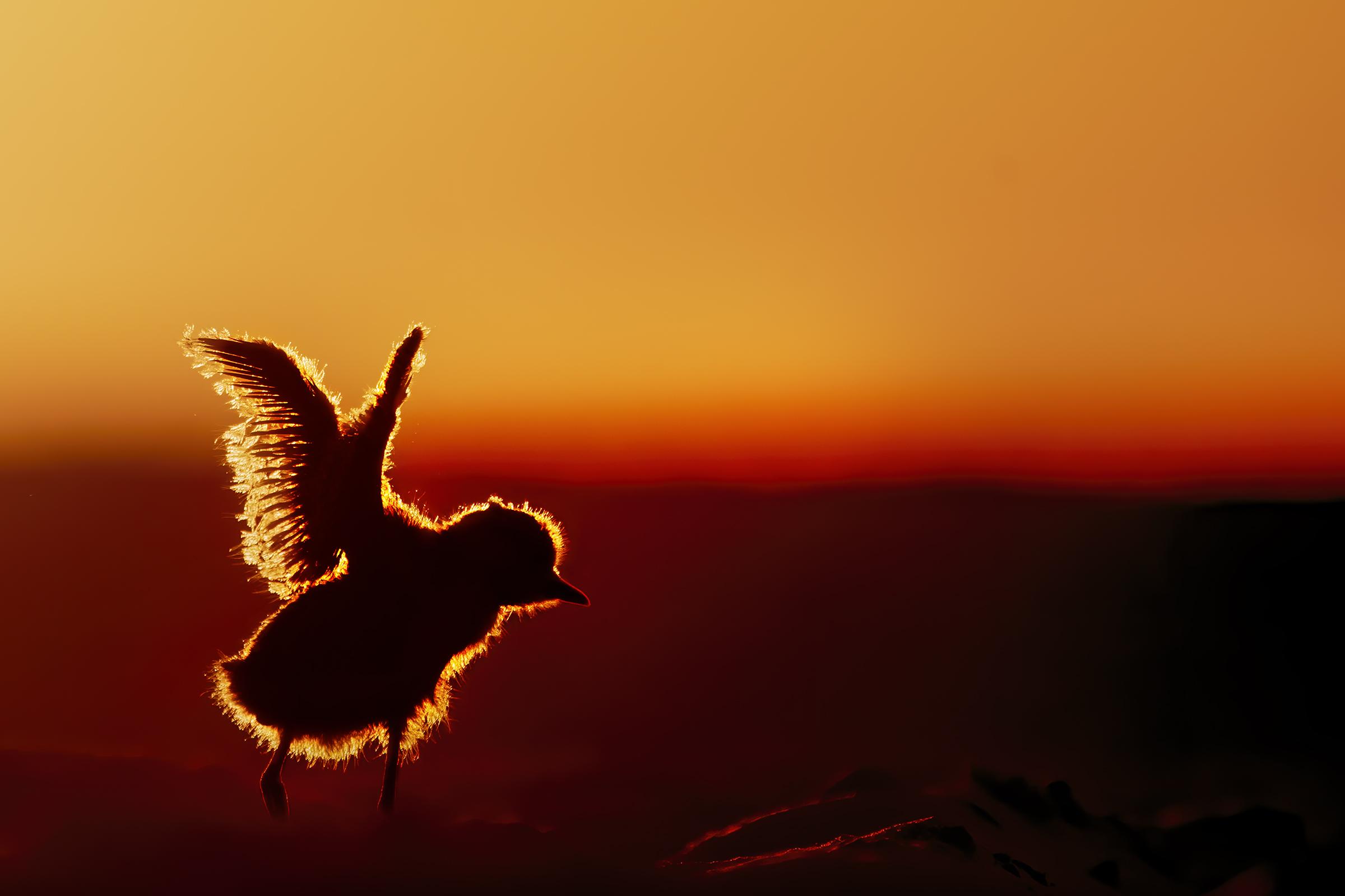 fratino at dawn ...