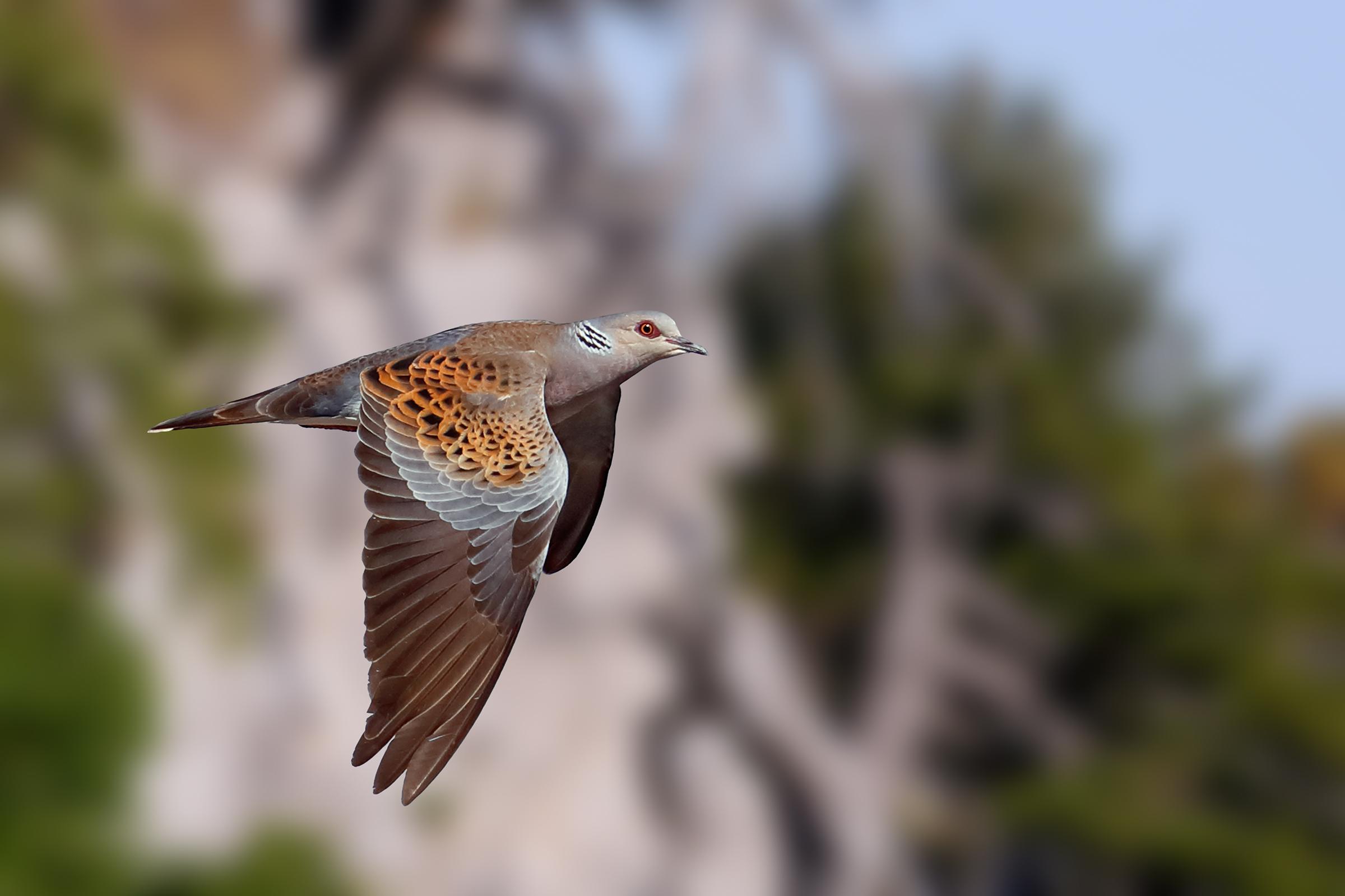 Wild dove grey...