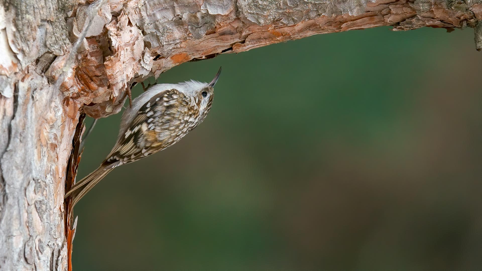 Eurasian Treecreeper...