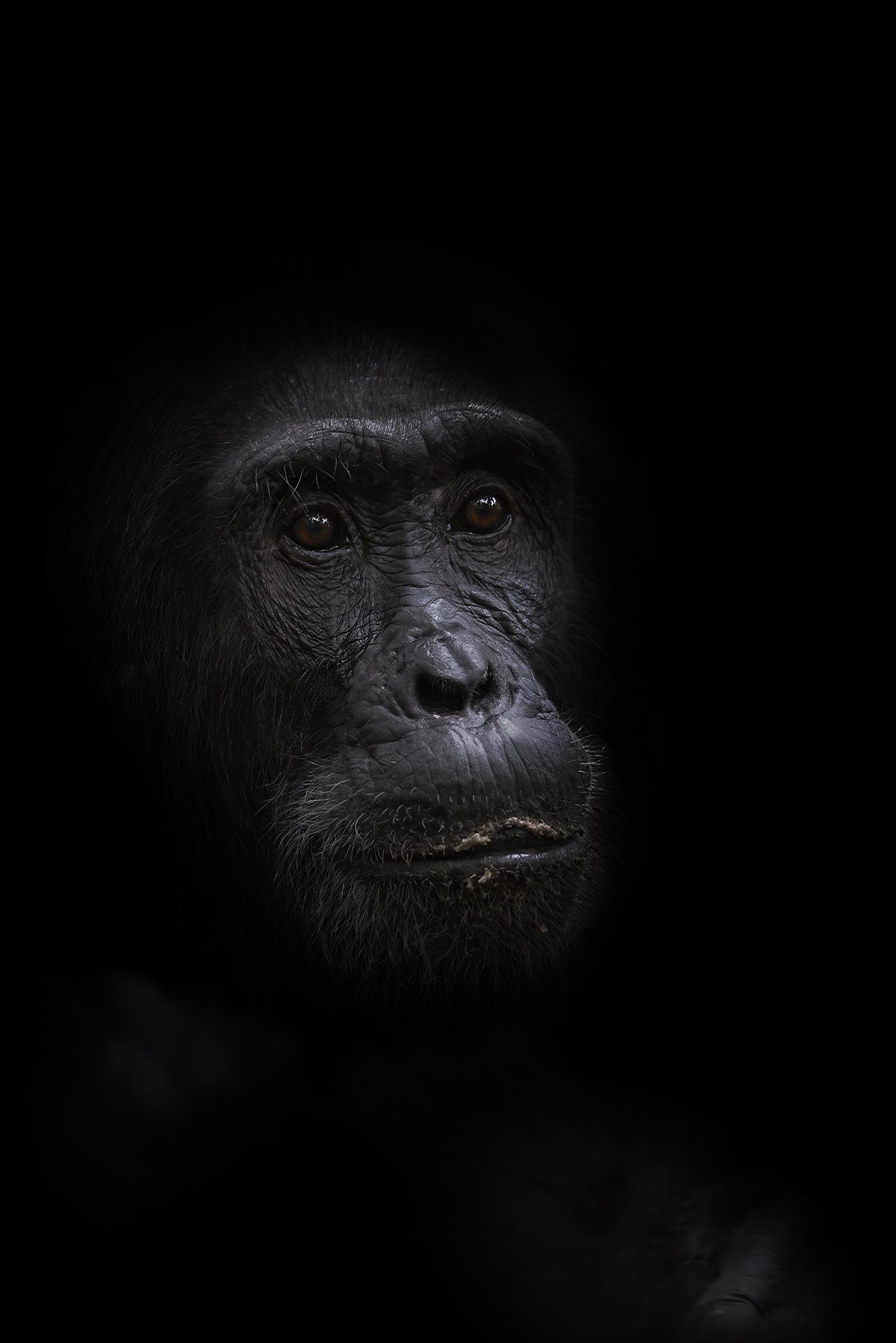 Chimpanzee Soul...