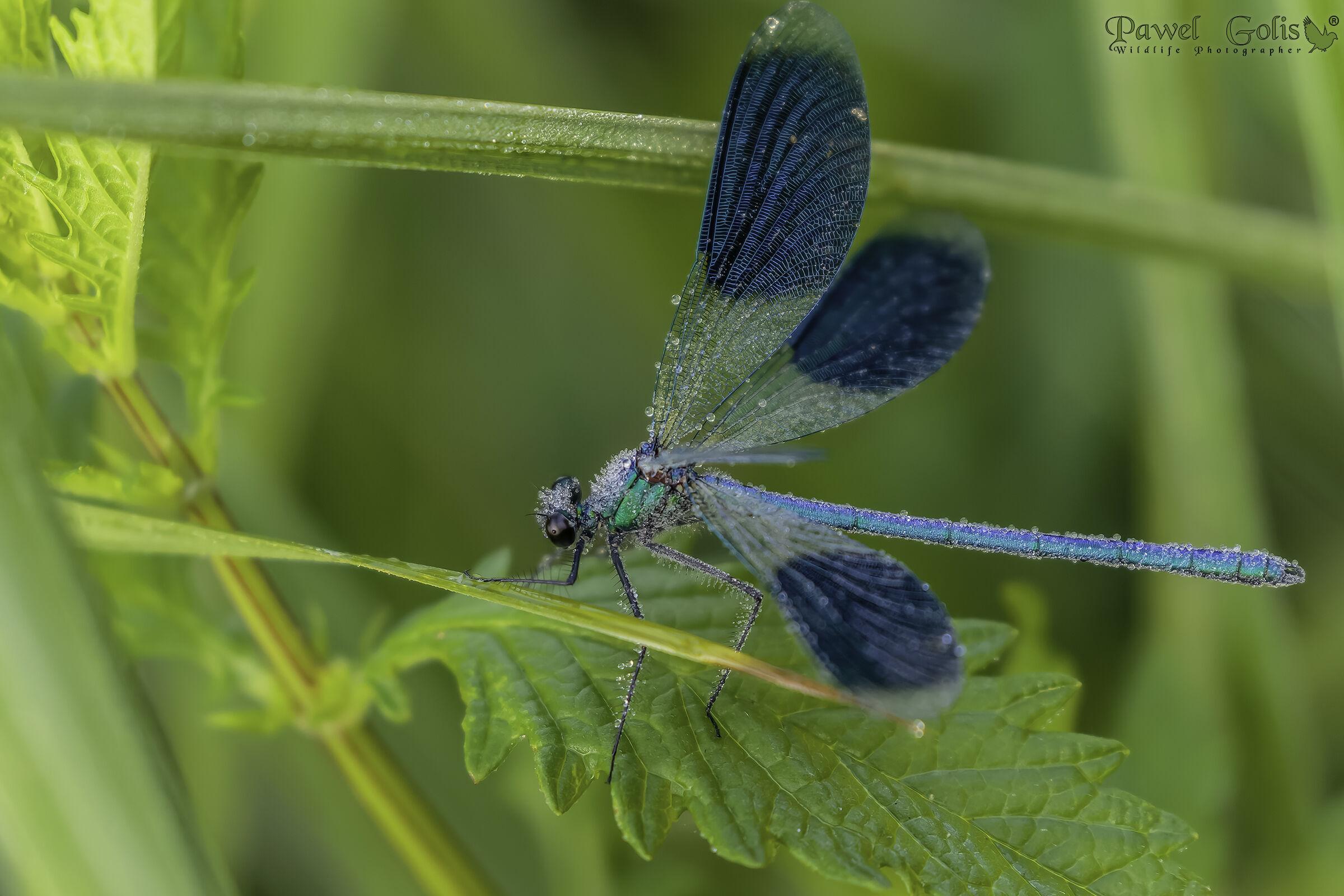 The banded demoiselle (Calopteryx splendens)...